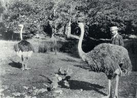 Mr George King Who Began Breeding Ostriches For Their Feathers On His Burwood Property In 1893